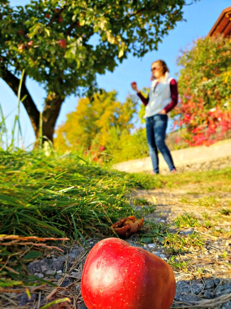 An apple tree in South Tyrol