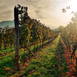 Dona Winery Vineyard