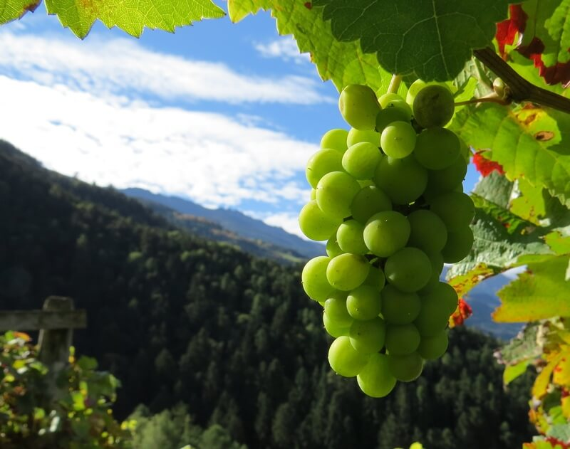 Grapes of Alto Adige