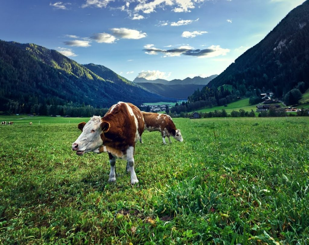 Cows Grazing Near Hotel Quelle
