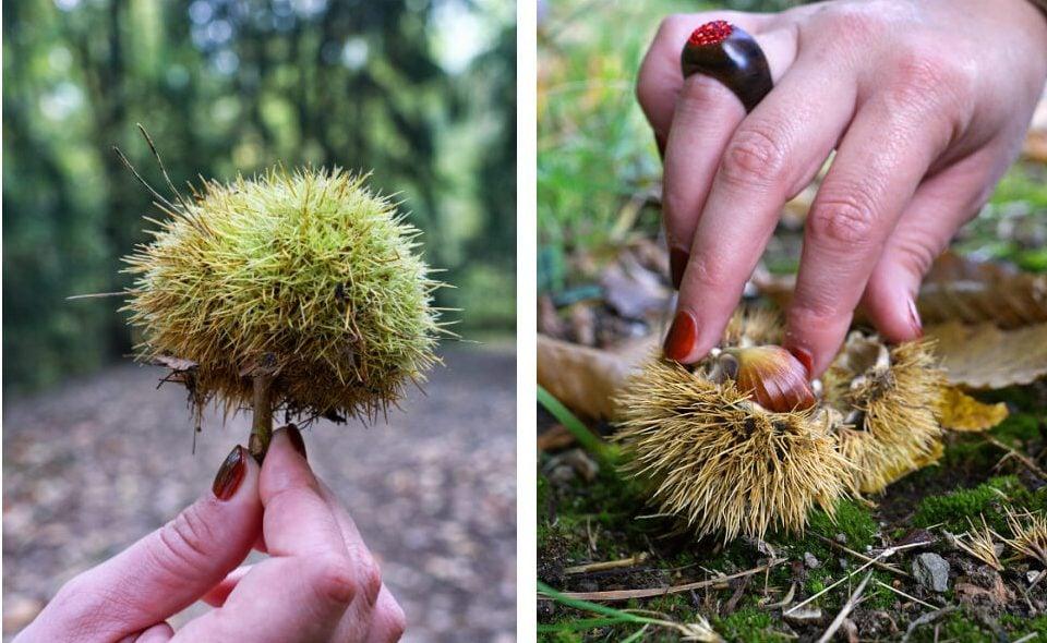 Fallen Chestnuts in South Tyrol
