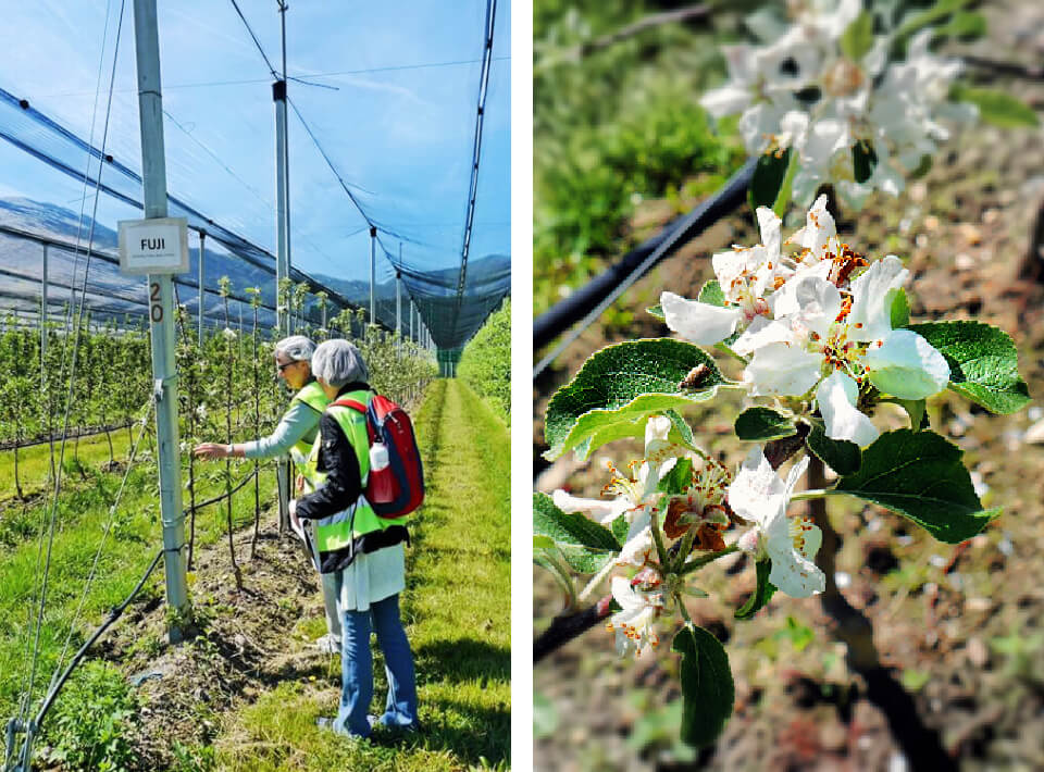 South Tyrolean Apples: Mountains of Goodness in Italy 6